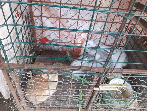 Vând iepuri mici 20 lei bucata
