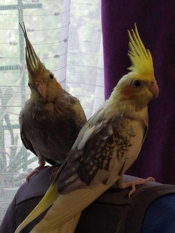 Птенцы попугаев Кореллы. 2 месяца