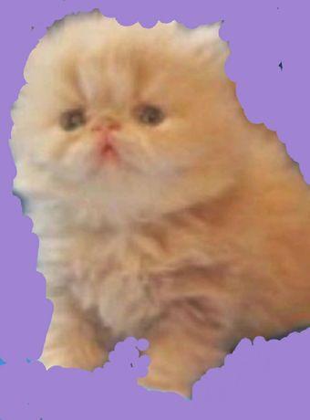 Персидские котята экстремальные