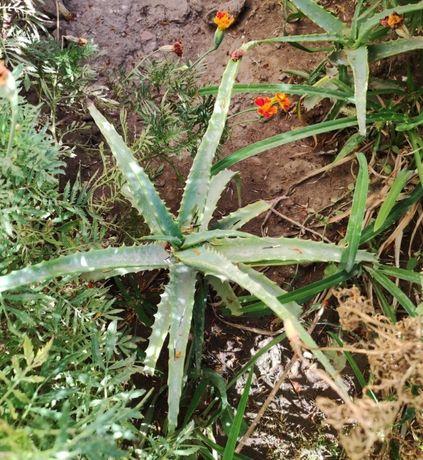 Цветок алоэ. Много саженцев. Летом высадили в огороде. Активно растет.