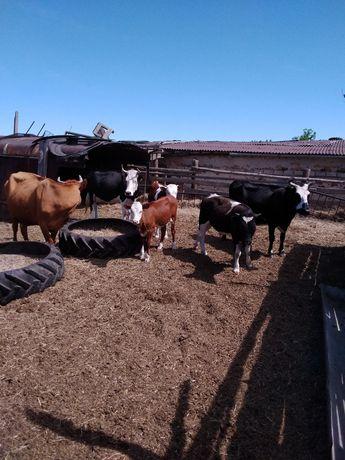 Продам коров с телятами дойные