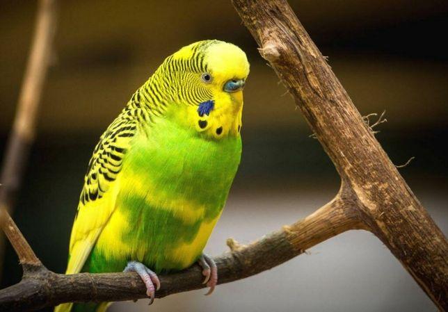 Красивый волнистый попугай с клеткой