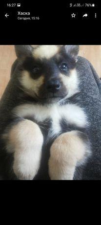 Продам хаску щенка 1 месяц девочка