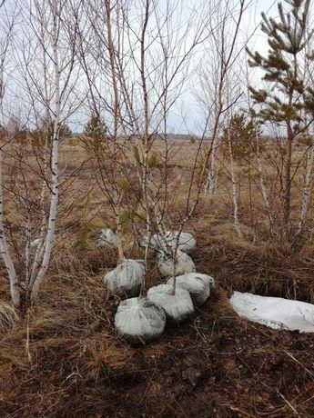 Лиственные деревья береза.тополь.рябина.карагач.жимолость.смородина