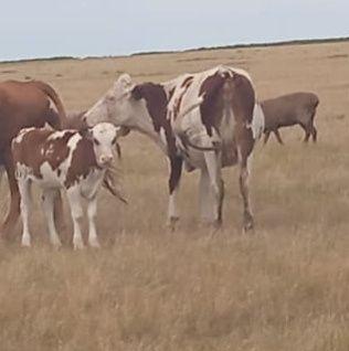 Продам коровку с теленком