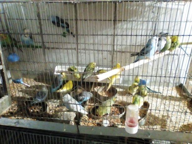 Papagali perusi crescătorie proprie