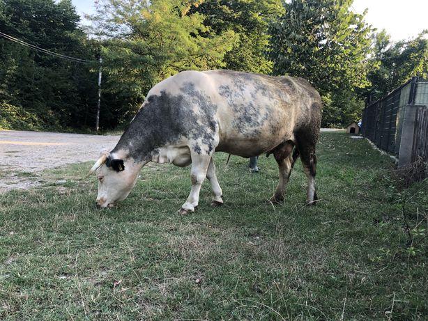 Vand Vaca cu vitel si Juninca