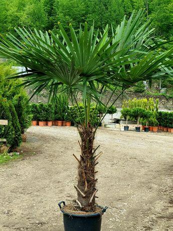 Vând palmier rezistent la inghet