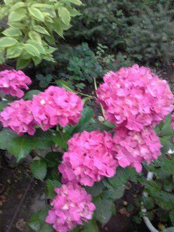 клематис голубой. белый гортензии розовая и белая. спирея самшиты