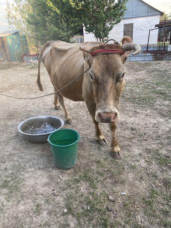 Продам дойную корову с теленком