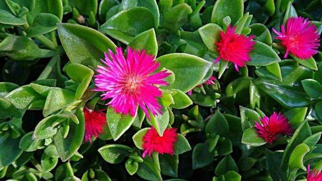 Аптения - экзотическое цветущее растение для вашего сада и квартиры!