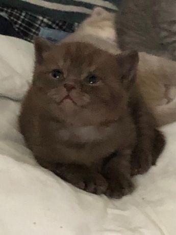 Продам котят, порода Скоттиш фолд цена 25000
