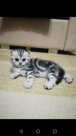 Шотландские котята!