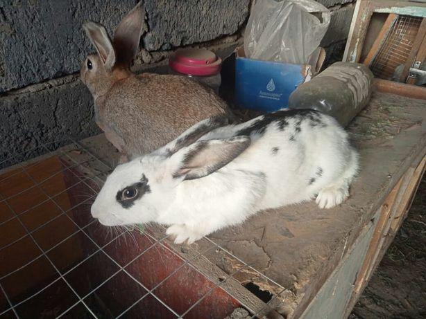 Продам кроликов 100 дней восточной левый 4 дачи