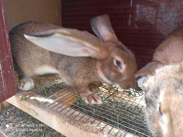 кролики-великаны