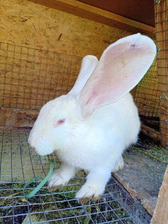 Кролики альбиносы