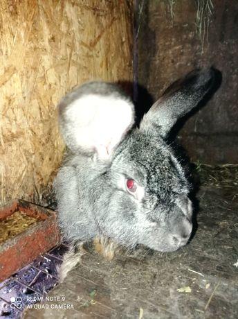 Продам пуховую кролиху