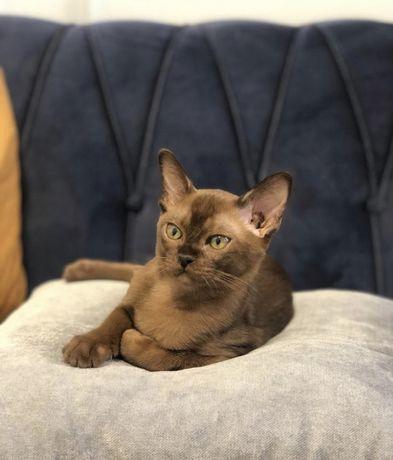 Бурма. Ласковые бурманские котята- шелковые.