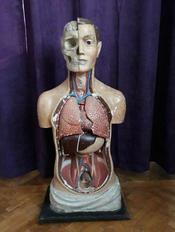Bust anatomic vechi, de la începutul secolului trecut