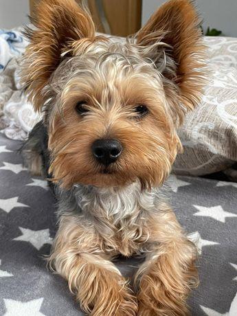 Yorkshire terrier baiat