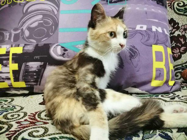 отдам стерилизованную юную трёхцветную кошку