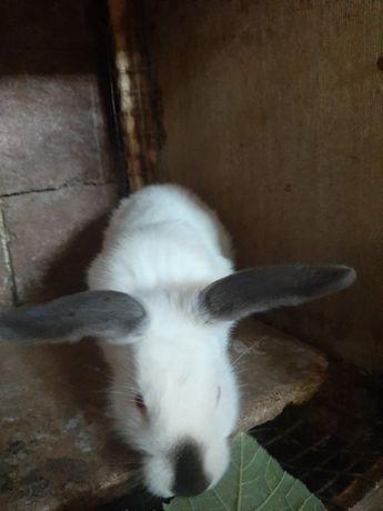 Продам кроликов калифорния 3000