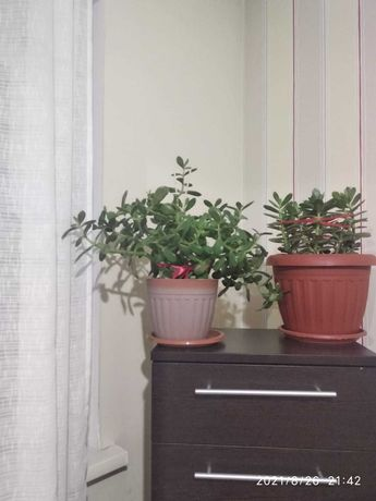 Цветы - денежное дерево