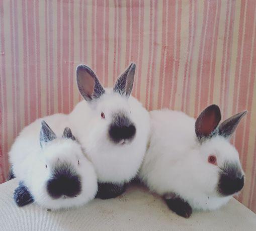 Евро Калифорния.  Крольчата . Қояндар