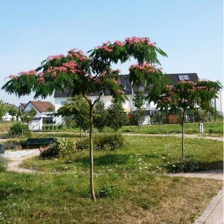 Albizia (Arborele de matase)