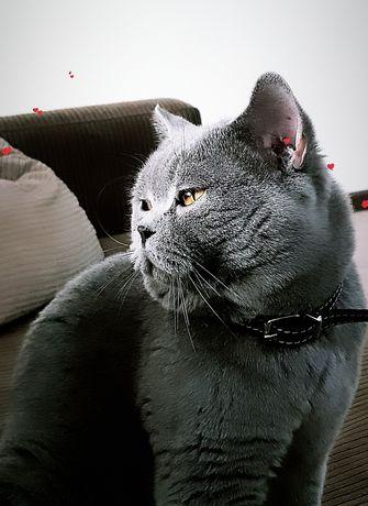 Британский кот с документам вязка,ждёт веслоухую, или прямоухую даму