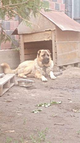 Пропала собака Кавказская овчарка Рыжего окраса