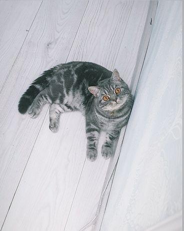 Очень красивый ,статный кот на вязку.