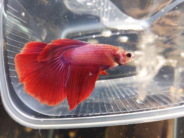 Петушок, аквариумная рыбка