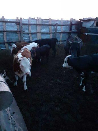 Продам 7 телят и одну корову оптом