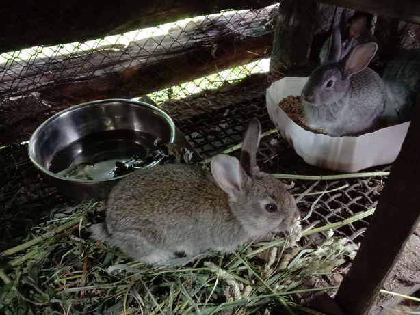 Продам крольчат 1000