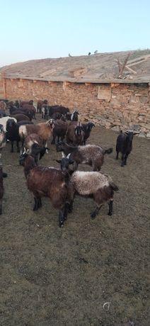 Продам коз с козлятами!!!