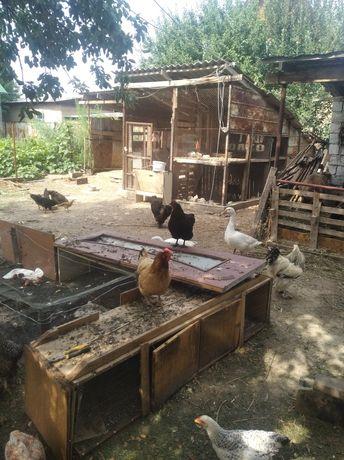 Продам курицы и петушки