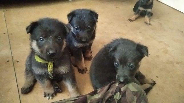 Срочно продаются щенки Немецкой Овчарки
