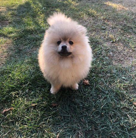 Pomeranian Tip Boo de vanzare