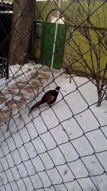 меняю молодого петуха фазана на курочку