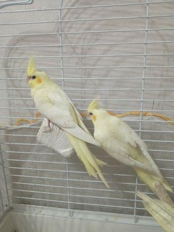 Попугаи корелла лютино птенцы 1,5мес