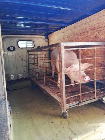 Cușcă transport porci