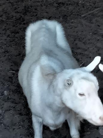 Зааненские козы  молочные