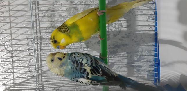 Papagali perusi multicolori pereche