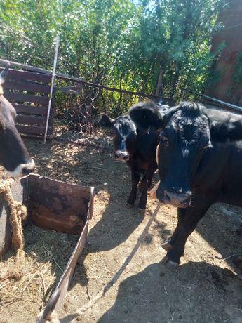Продается две коровы с теленками