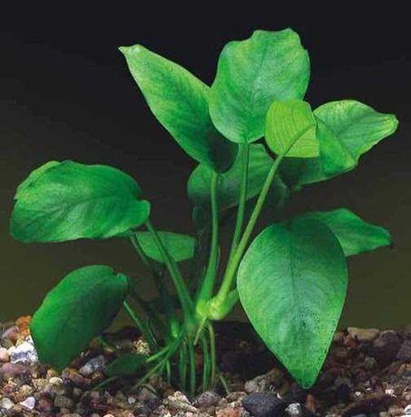 аквариумное растение анубиас