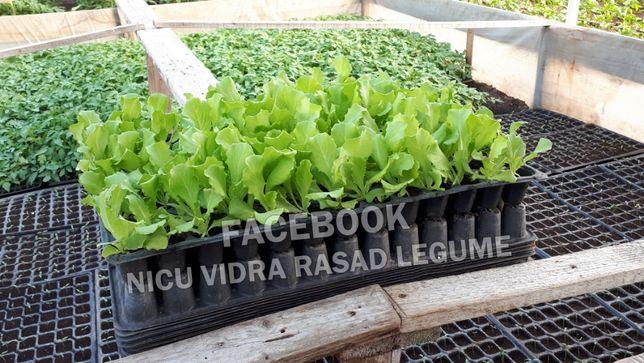 Rasad Salata Verde de Vanzare