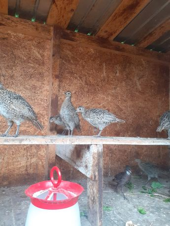 Pui fazani comuni