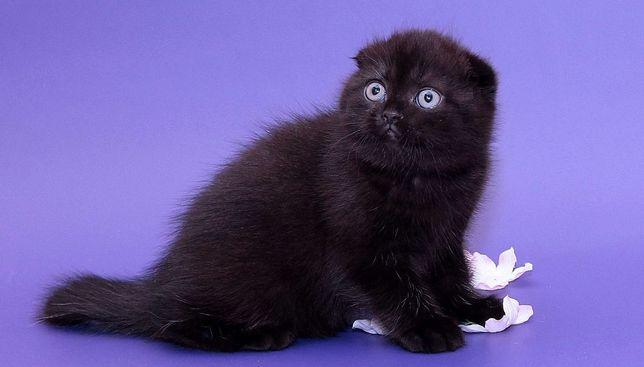 Срочно. Черные котята Скоттиш фолд
