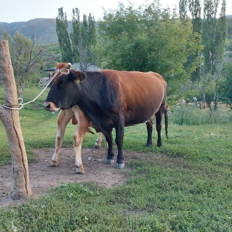 Продам породистую корову